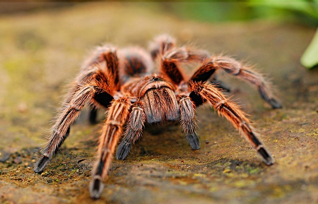 spider, tarantula, creepy
