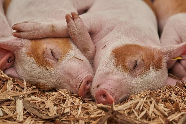 piglet, sleep, pig