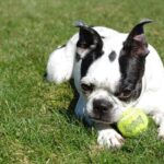 Why Are Boston Terriers So Popular?